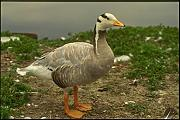 066092 Bar headed Goose A4 Photo Poster Print 10x8