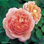 David Austin-Rose 'Abraham Darby®'