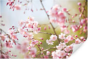 Wandbilder - Wallprint W - Cherry Blossoms